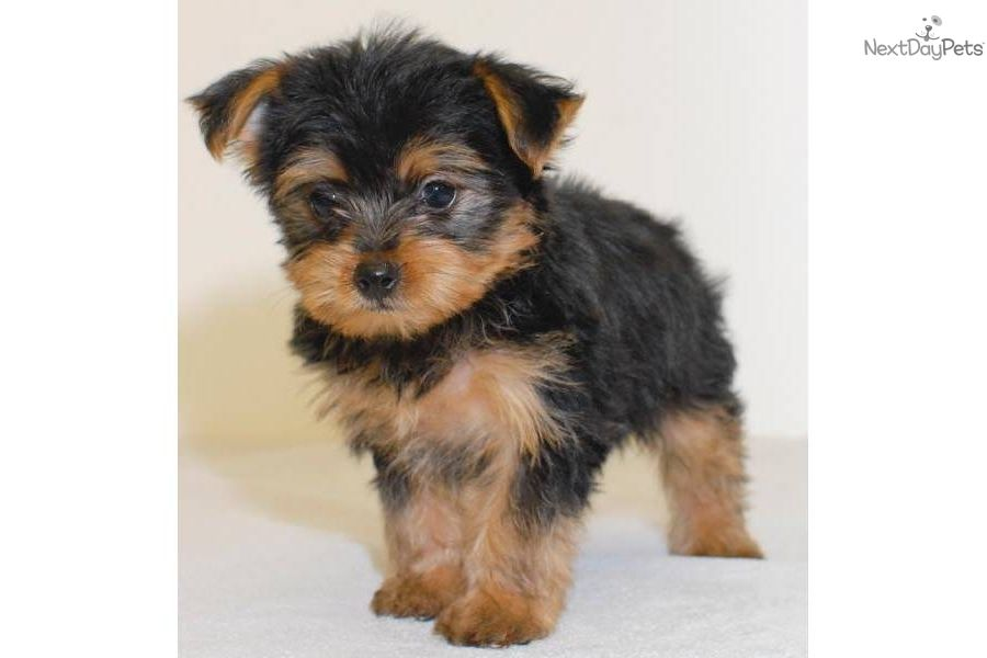 Yorkie Poo Puppies For Sale Yorkie Poo Puppy For Sale For 450