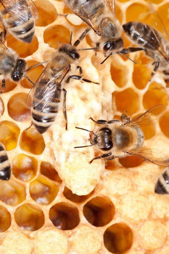 10 FACTS ABOUT HONEYBEEShoneybees3honeybeesfacts