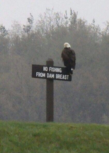Eagle at Somerset Lake
