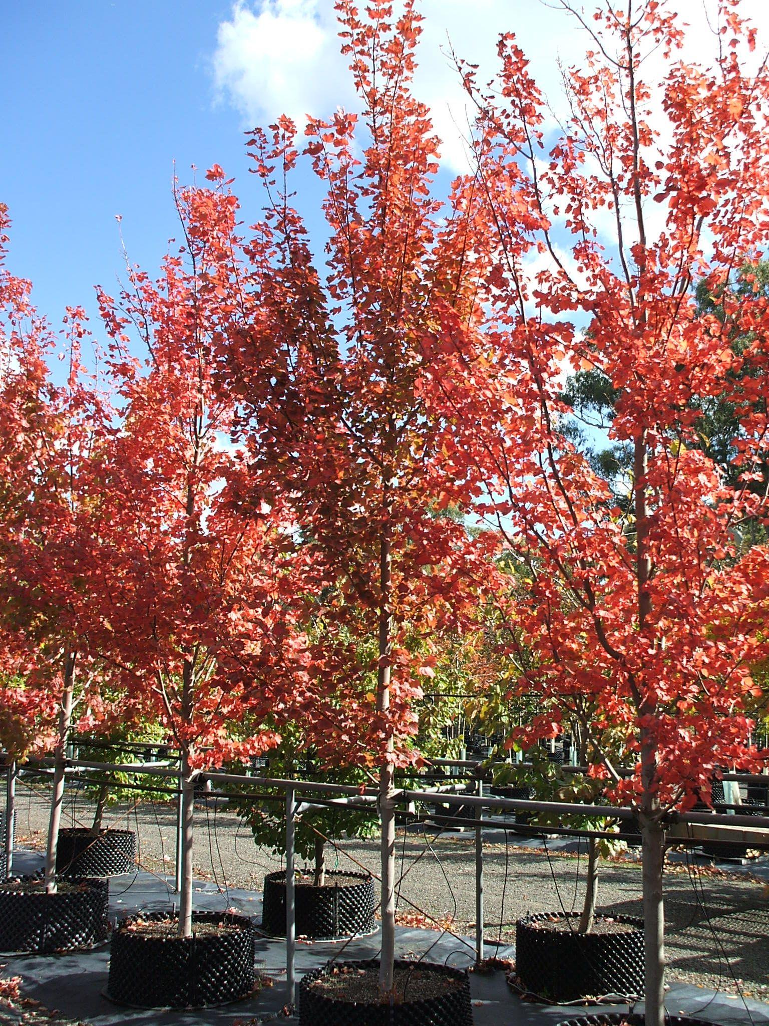 Acer Negundo Sensation Trees Acer Rubrum Acer Wholesale Nursery