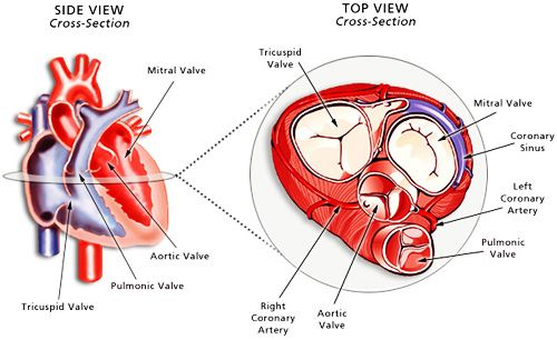 The Schematic Diagram Below Illustrates The Four Valves Of The Heart And How They Are Oriented Within The Heart The Heart Diagram Heart Structure Heart Valves
