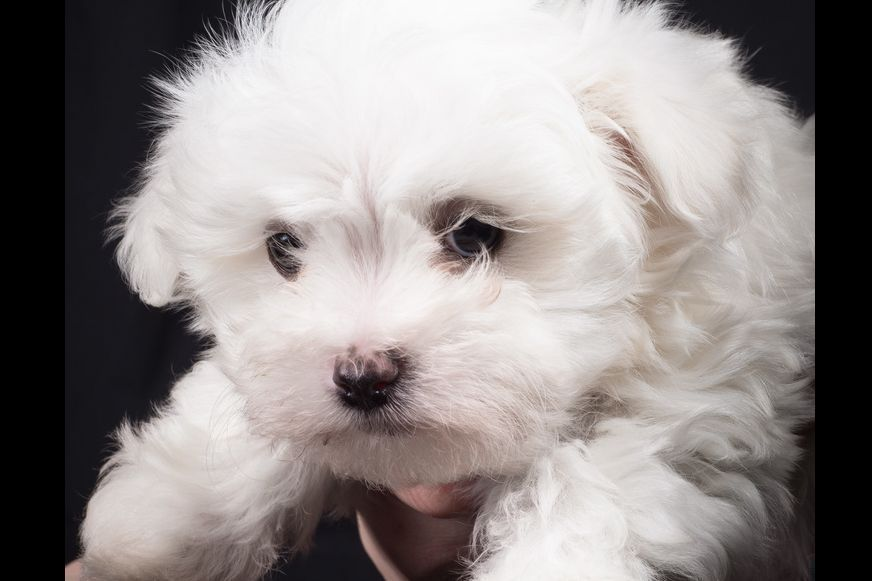 Honeybee Farm Cavaliers Has Maltese Puppies For Sale In