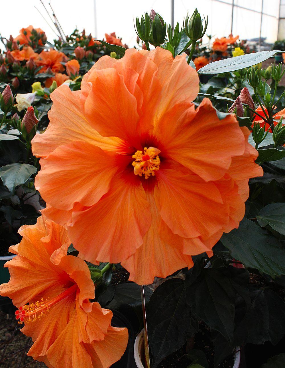 Huge Orange Hibiscus Hibiscus Tree Hibiscus Plant Growing Hibiscus