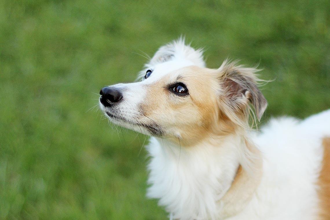 Wieviele Silken Windsprite Zuchter Gibt Es In Deutschland Wieviele Windsprites Wurden Bisher Gezuchtet Und W Lustige Bilder Von Tieren Zuchten Hunde