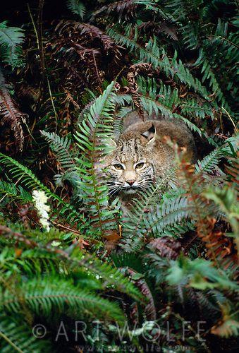A bobcat hides in ferns, Olympic National Park, Washington, USA