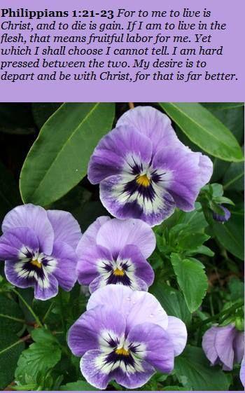 Kjv Inspirational Scripture With Pansies Pansies Flower Meanings Flowers