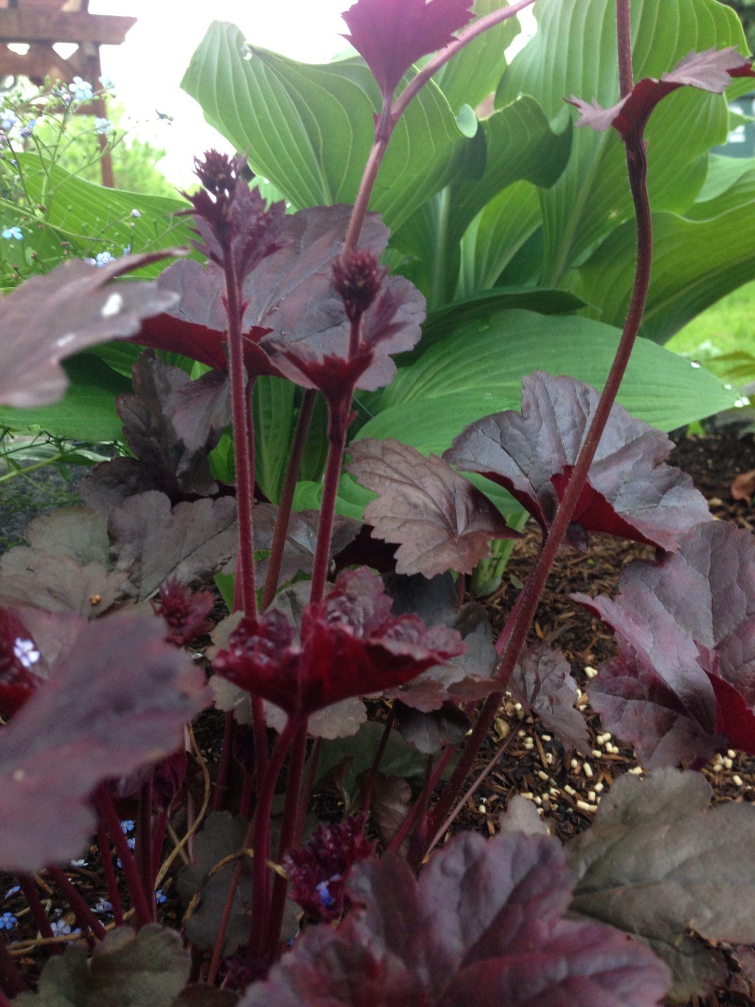 Purple Heuchera In Front Of Hosta Krossa Regal Shade Gardens