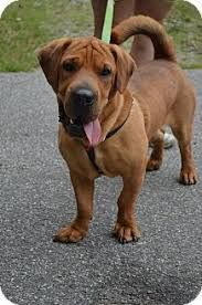 Image Result For Chow Basset Hound Mix With Images Basset