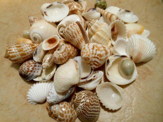 seashells indian mix assorted seashells seashell