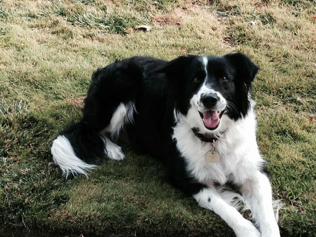 Tess Border Collie Rescue Of Northern California I Want To