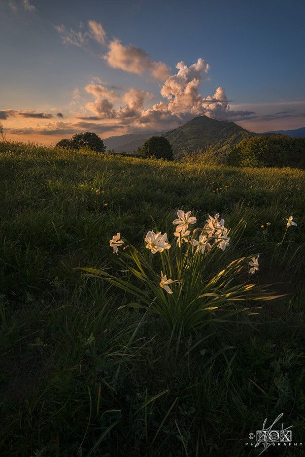 Wild Daffodils by Enrico Fossati on 500px Blooming daffodils on the mount Antola .