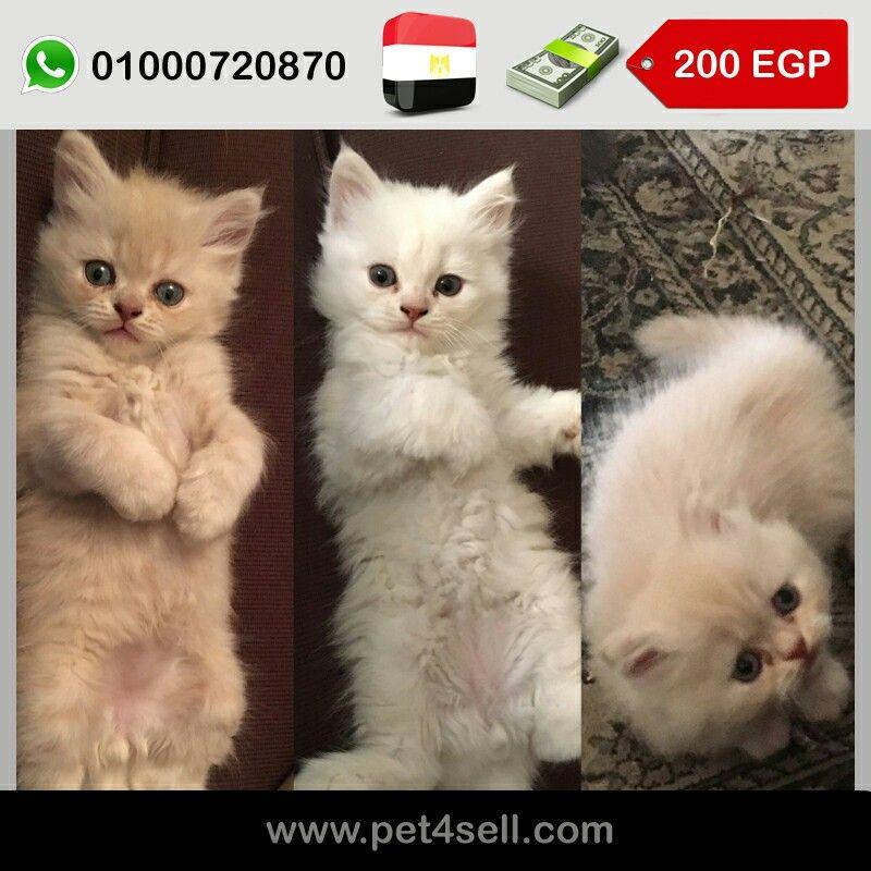 مصر القاهرة ولدين للبيع شيرازي العمر شهر و٢٠ يوم Pet4sell Cats Animals