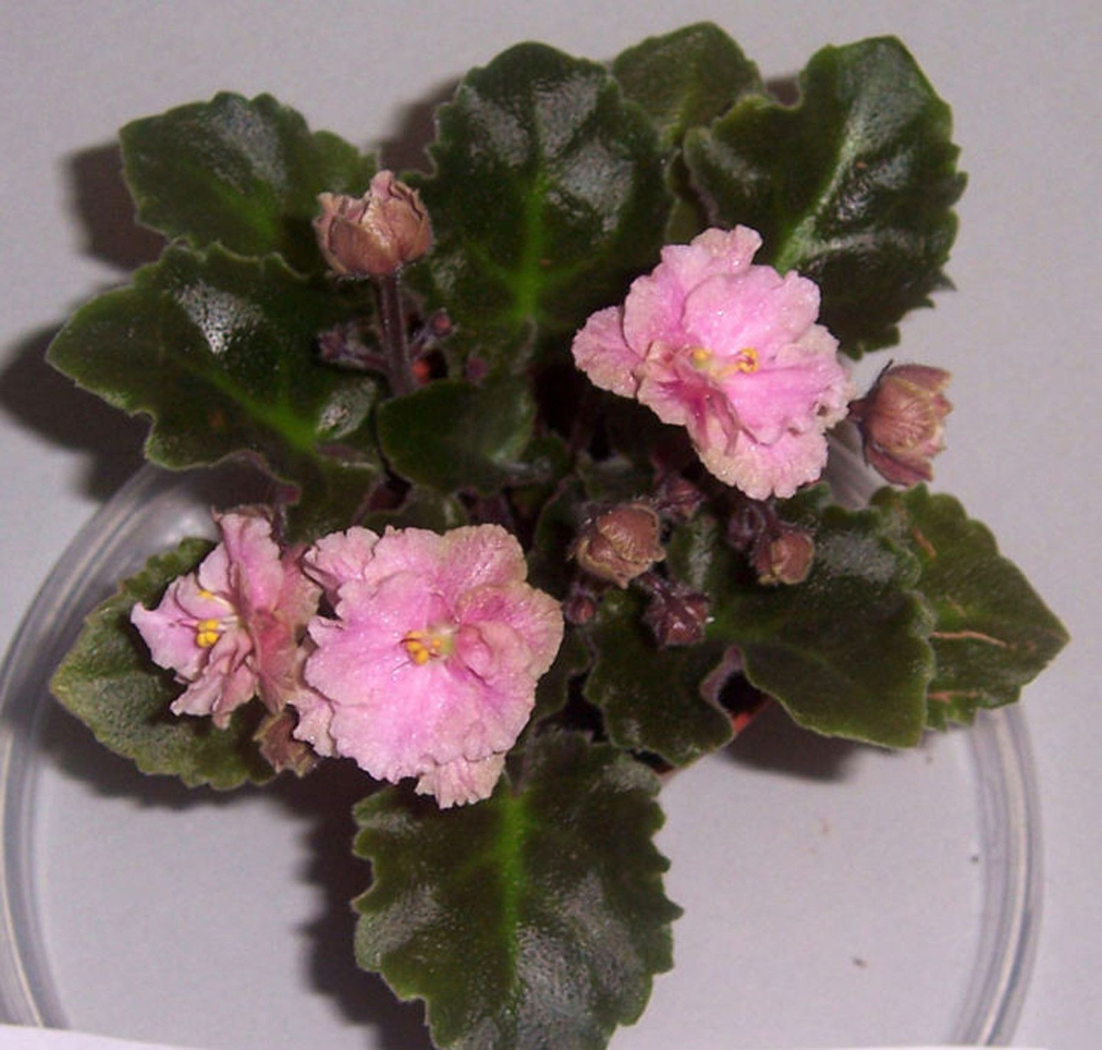 african violet rob 39 s antique rose semi miniature plant in pot african violets pinterest. Black Bedroom Furniture Sets. Home Design Ideas
