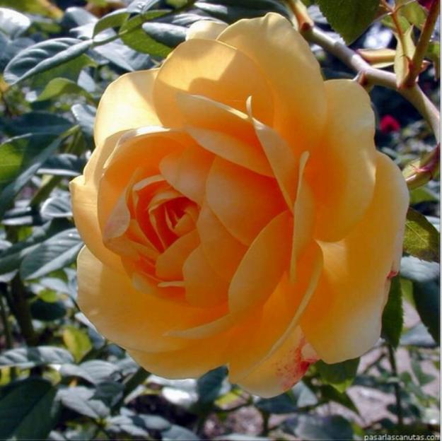 صور ورود جميلة لأجمل إهداءات مداد الجليد Flowers Bird Drawings Rose