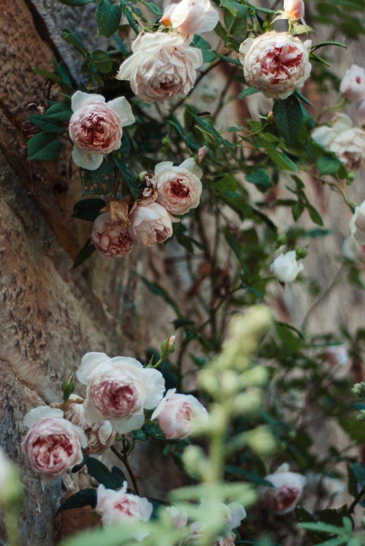 #Kletterrose #Rambler #Rose