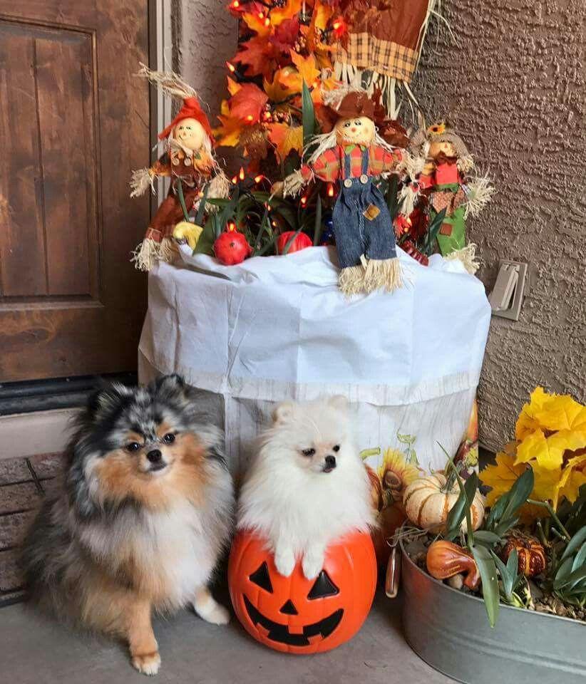 autumn fall halloween ideas pom poms feet pomeranians fur babies adorable animals board - Halloween Pom Poms