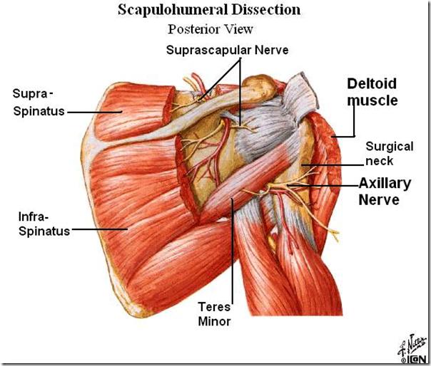 Scapulohumeral Dissection | Healthcare | Pinterest | Sesamoid bone