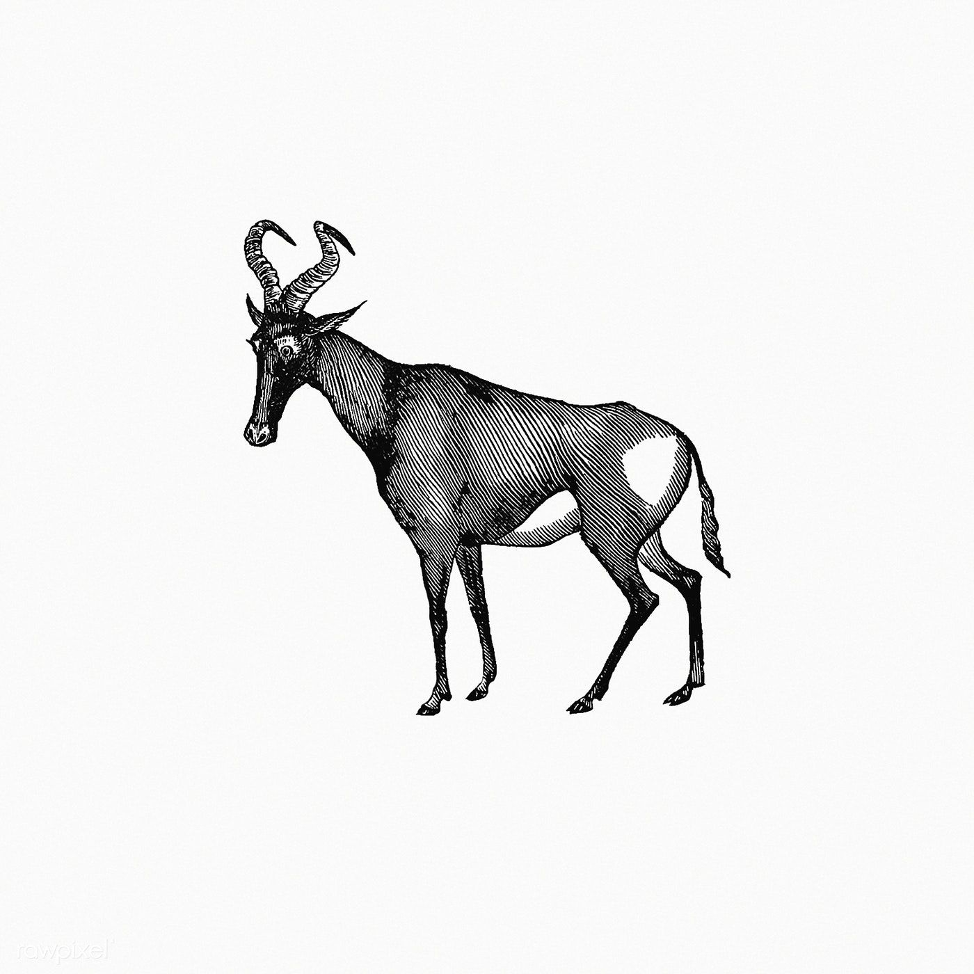 Hartebeest from Adventures in the far interior of South