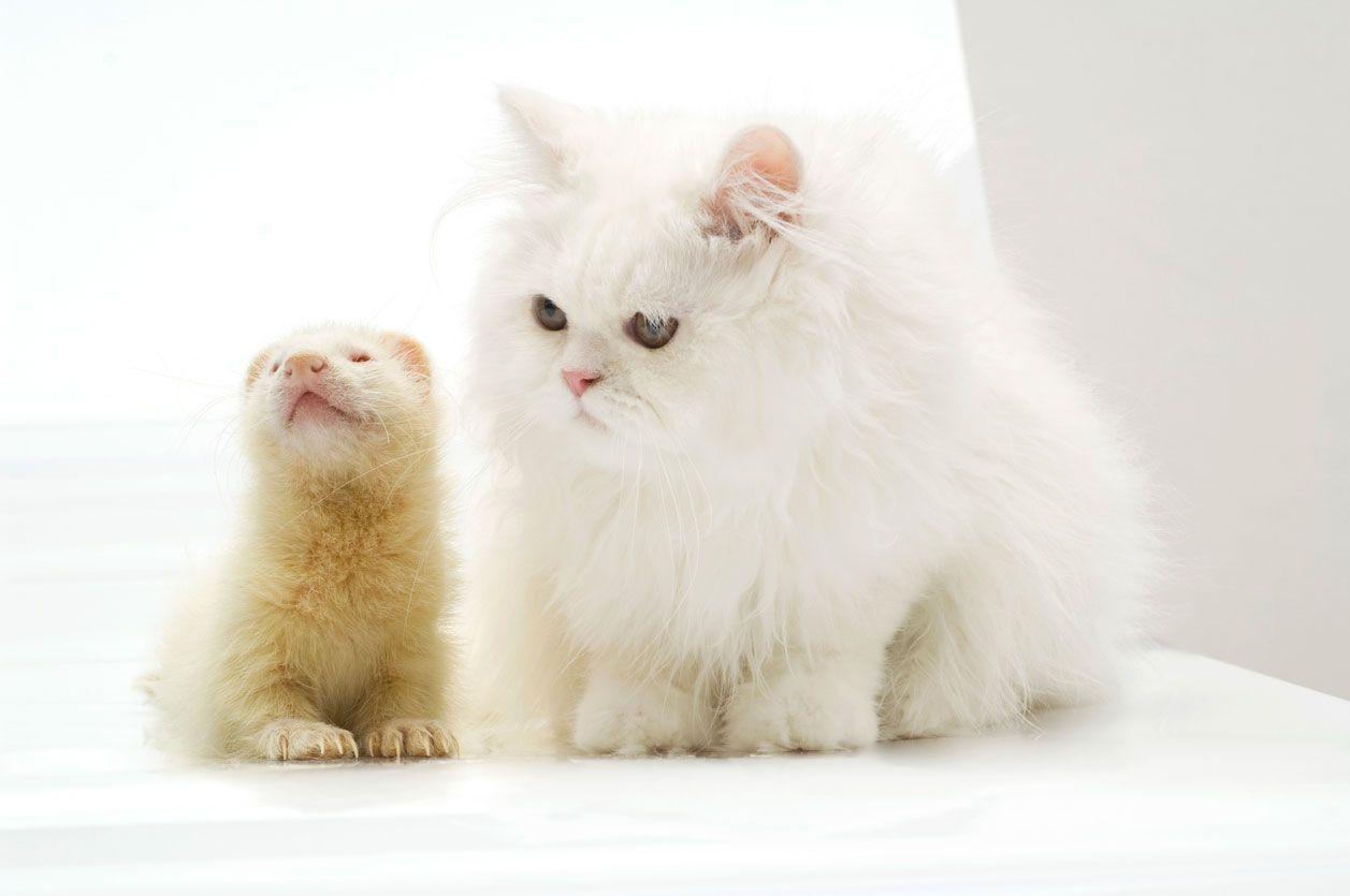 Gatos y pequeñas mascotas: ¿Pueden convivir con roedores, hurones o tortugas