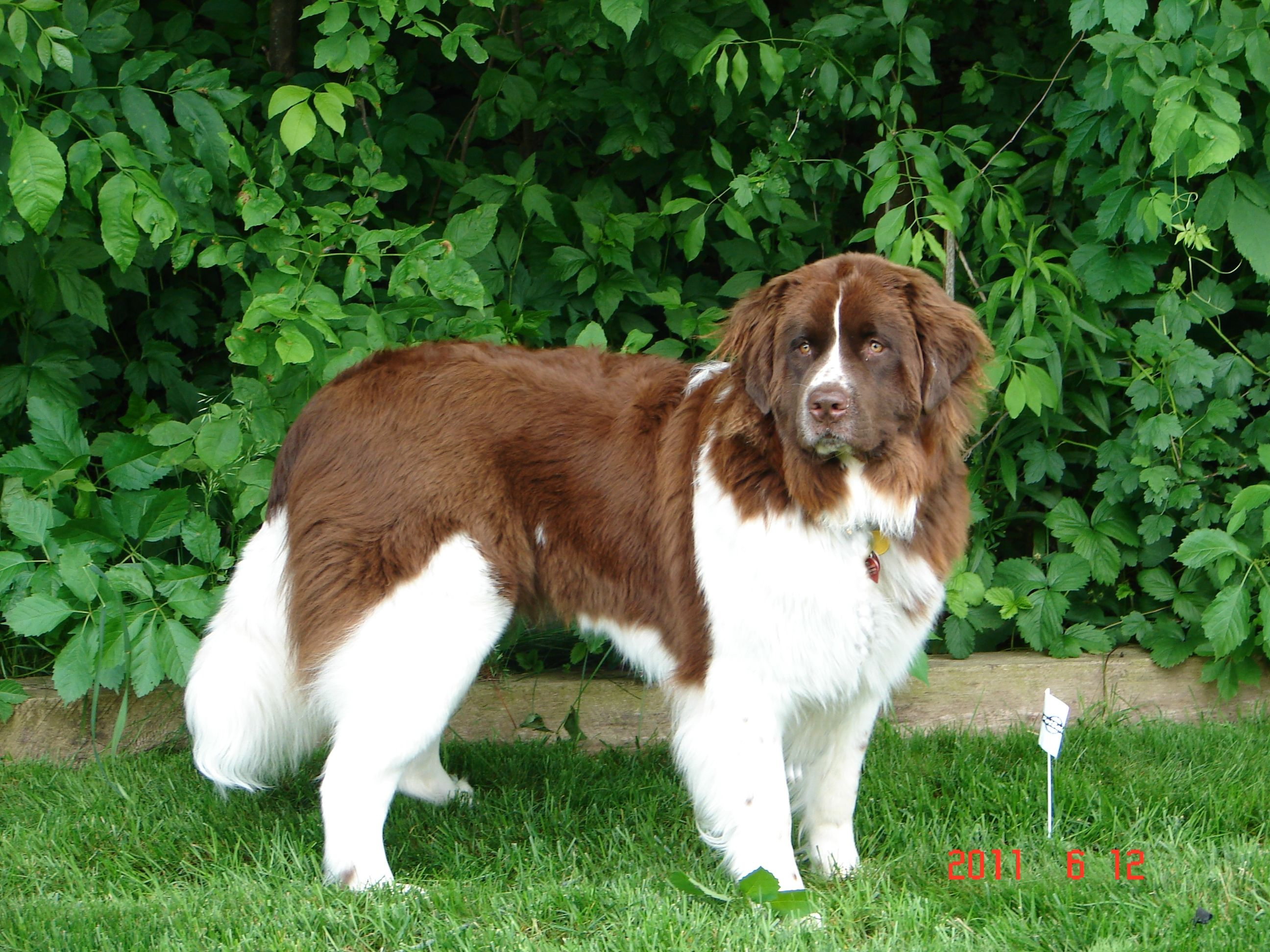 Brown And White Newfoundland Newfoundland Dog Brown