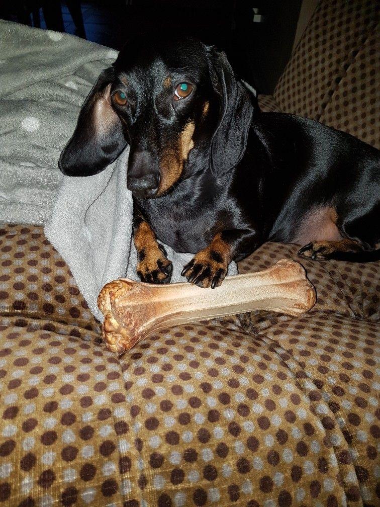 Slowly Walk Away Do Not Look At My Bone Weiner Dog Dachshund