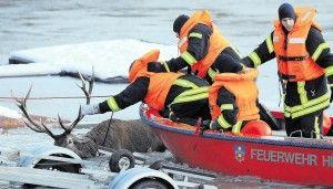 Feuerwehr rettet drei Hirsche aus Baggersee in Hünxe   WAZ.de