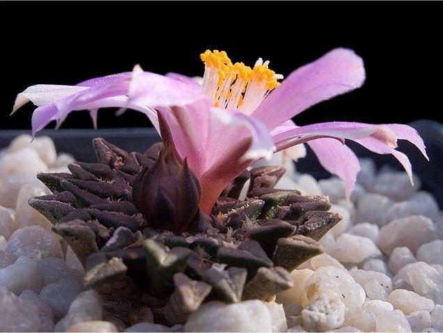 Cactus - Ariocarpus kotschoubeyanus