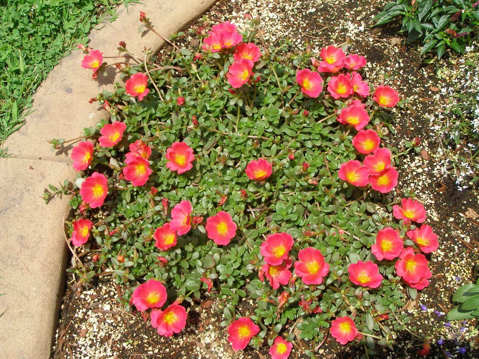Purslane Rio Scarlet Garden Plants Flowers