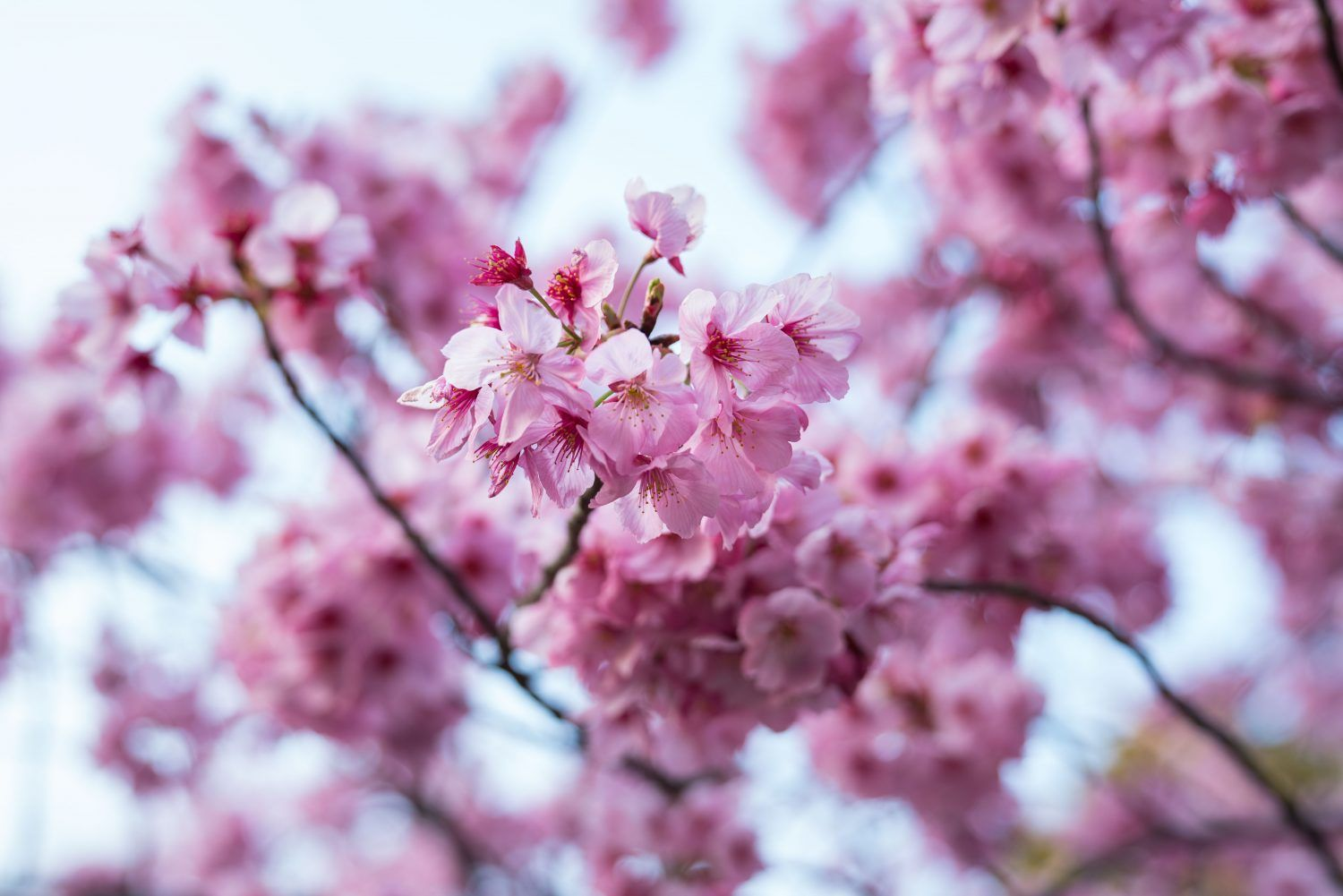 Extreme Weather Tricks Japan S Cherry Blossom Trees Into Blooming Early Blossom Trees Cherry Blossom Tree Extreme Weather