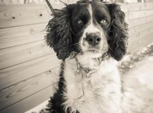 Adopt Bonnie On Petfinder Springer Spaniel English Springer Spaniel Spaniel Dog