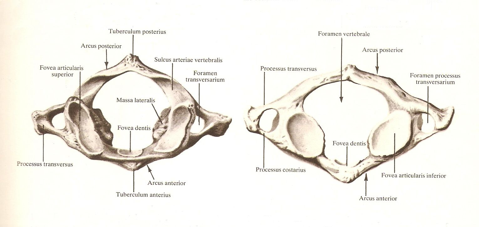 First cervical vertebra \