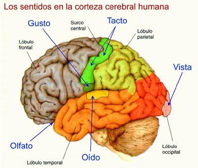 Los Sentidos En La Corteza Cerebral Pesquisa Google