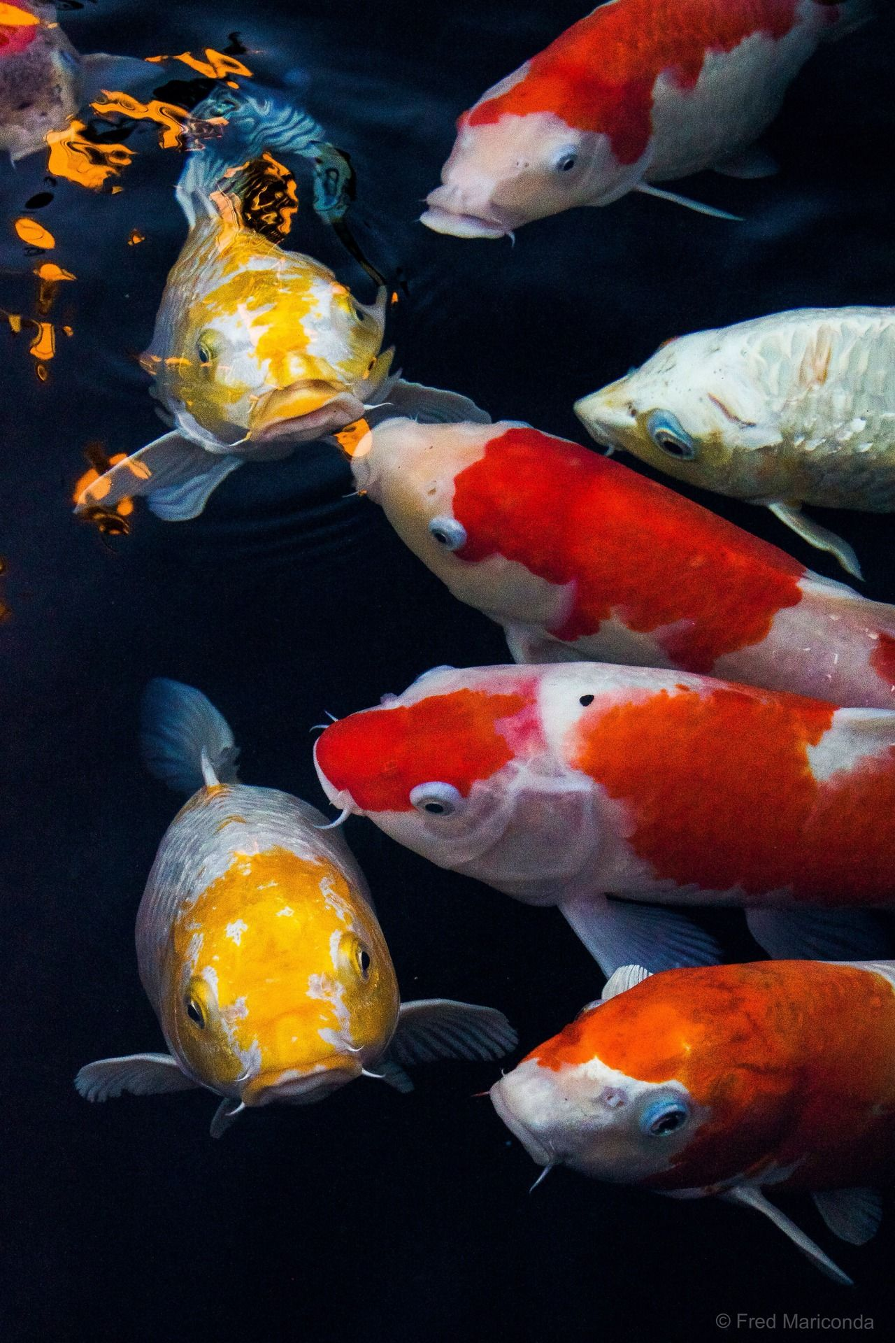 Japanese koi fish nat geo pinterest koi estanques for Estanque carpas koi