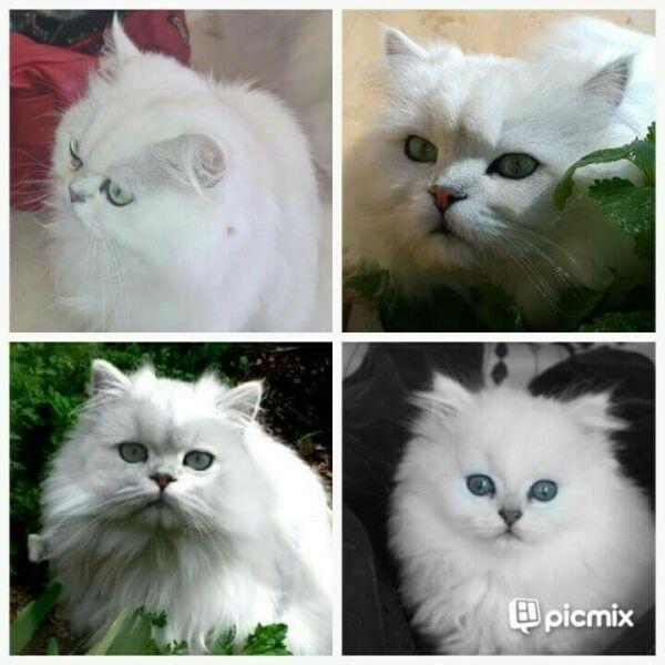 Persian Chinchilla Kittens available Bellville Gumtree