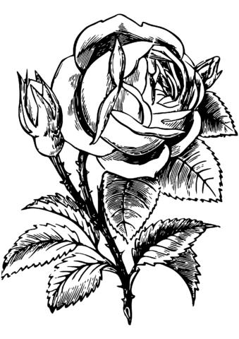 Rosa Dibujo para colorear. Categorías: Rosas. Páginas para imprimir ...
