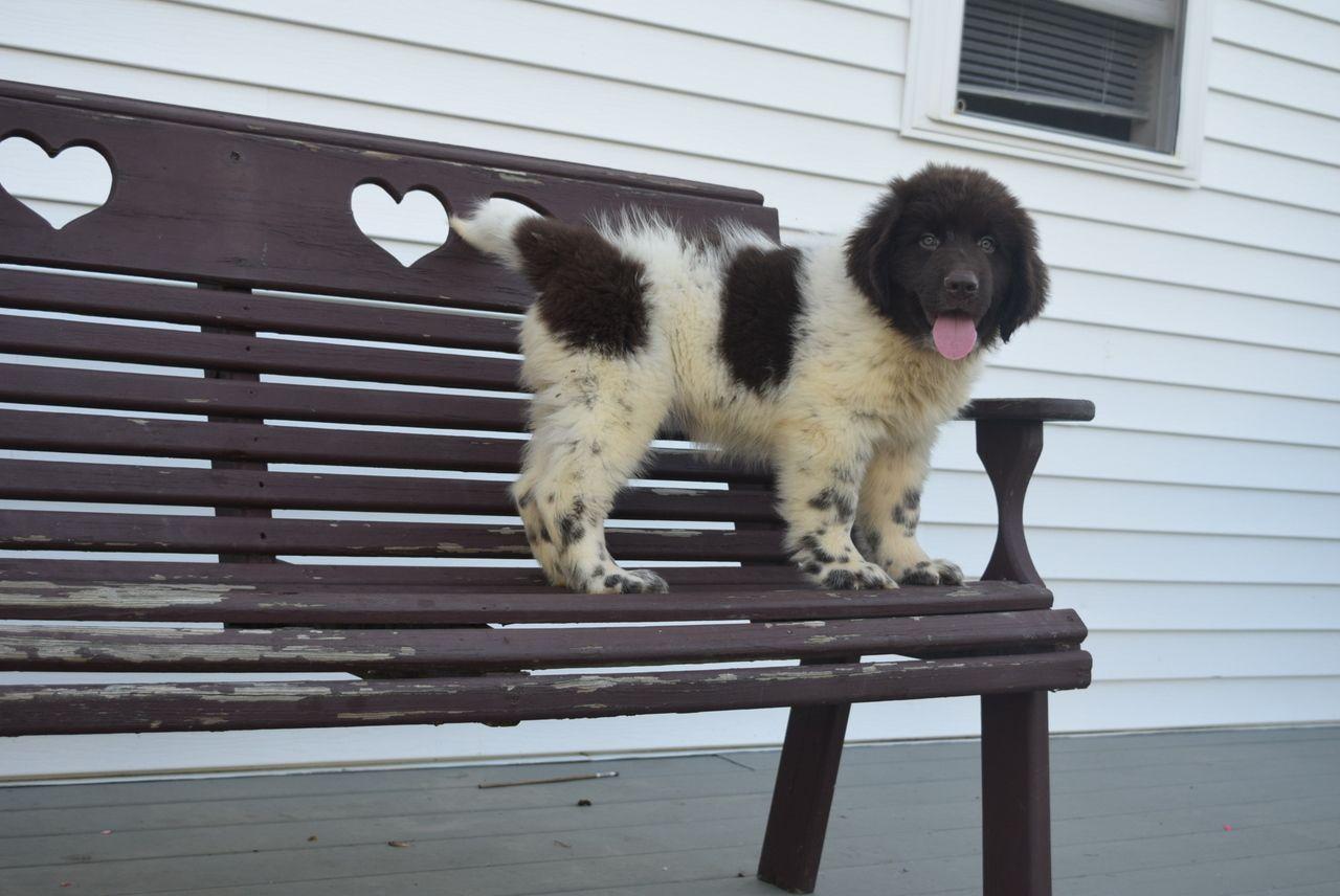 Lori akc newfoundland puppy for sale kates puppies