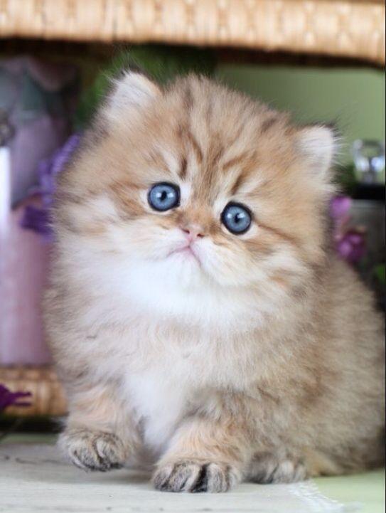 Persian Kitten Teacup Cats Teacup Kitten Teacup Persian Kittens