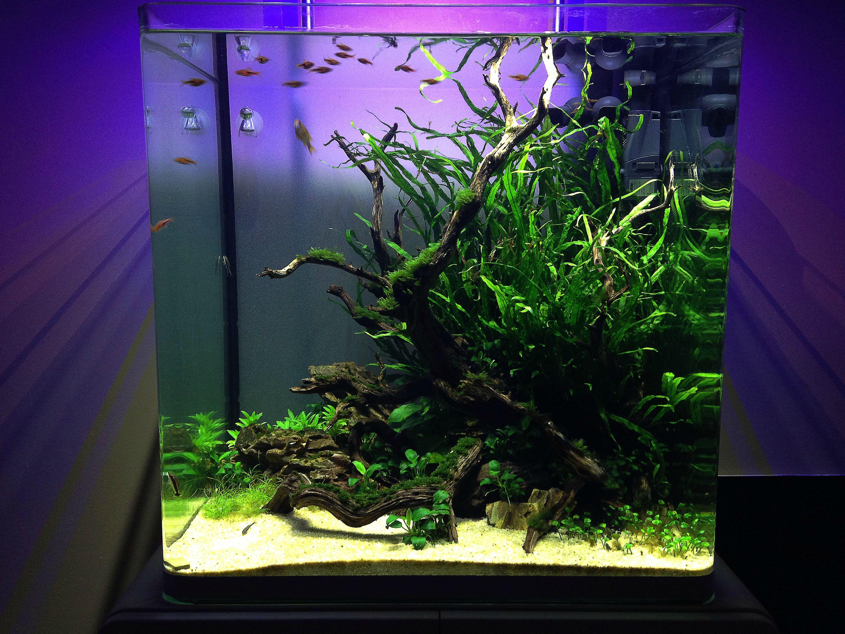 Planted 41 gal rimless fluval osaka tank gardens for Plante nano aquarium