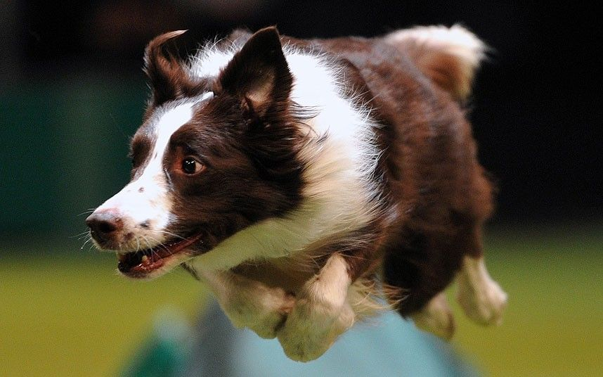 Crufts 2013 The World S Biggest Dog Show In Pictures Dog