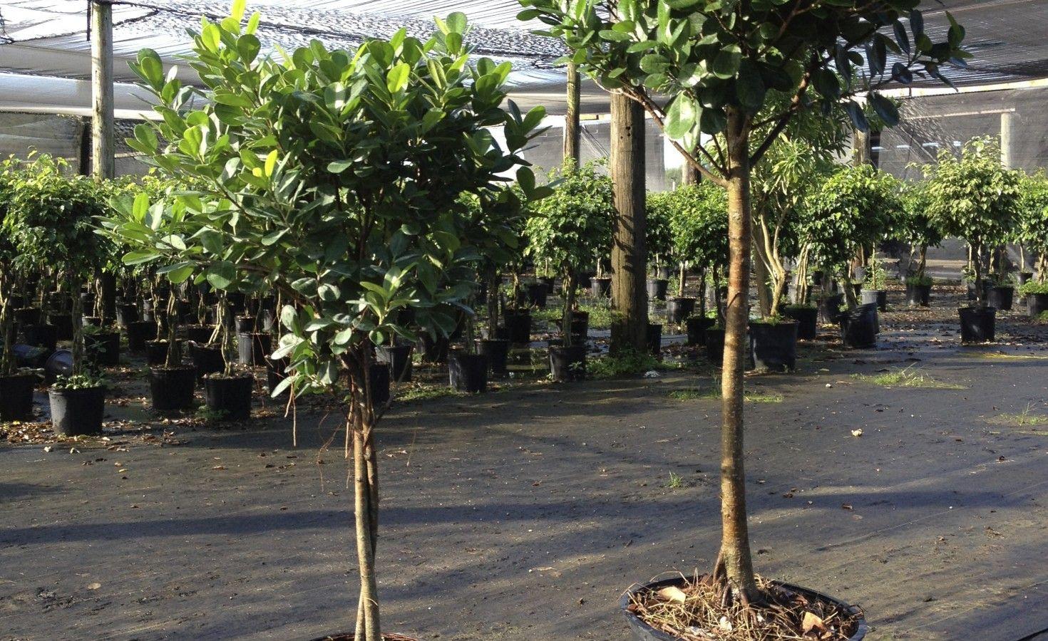 Ficus tree care instructions ficus tree care ficus tree