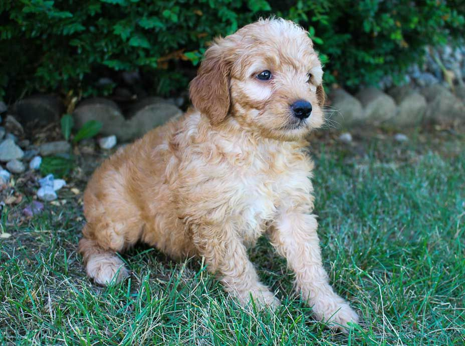 Shelly Goldendoodle Pupper For Sale Near Grabill Indiana Vip Puppies In 2020 Baby Animals Pictures Cute Animal Photos Baby Animals