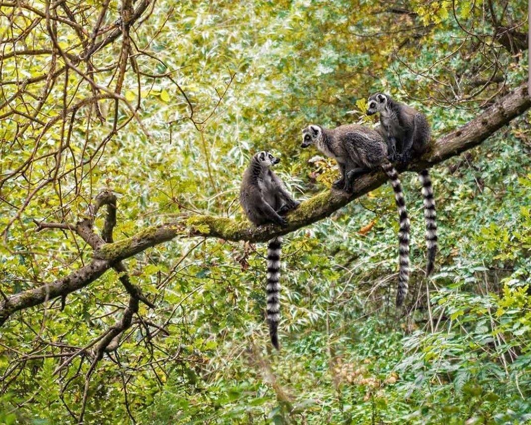 环尾狐猴 Lemur is any of various small, arboreal, chiefly