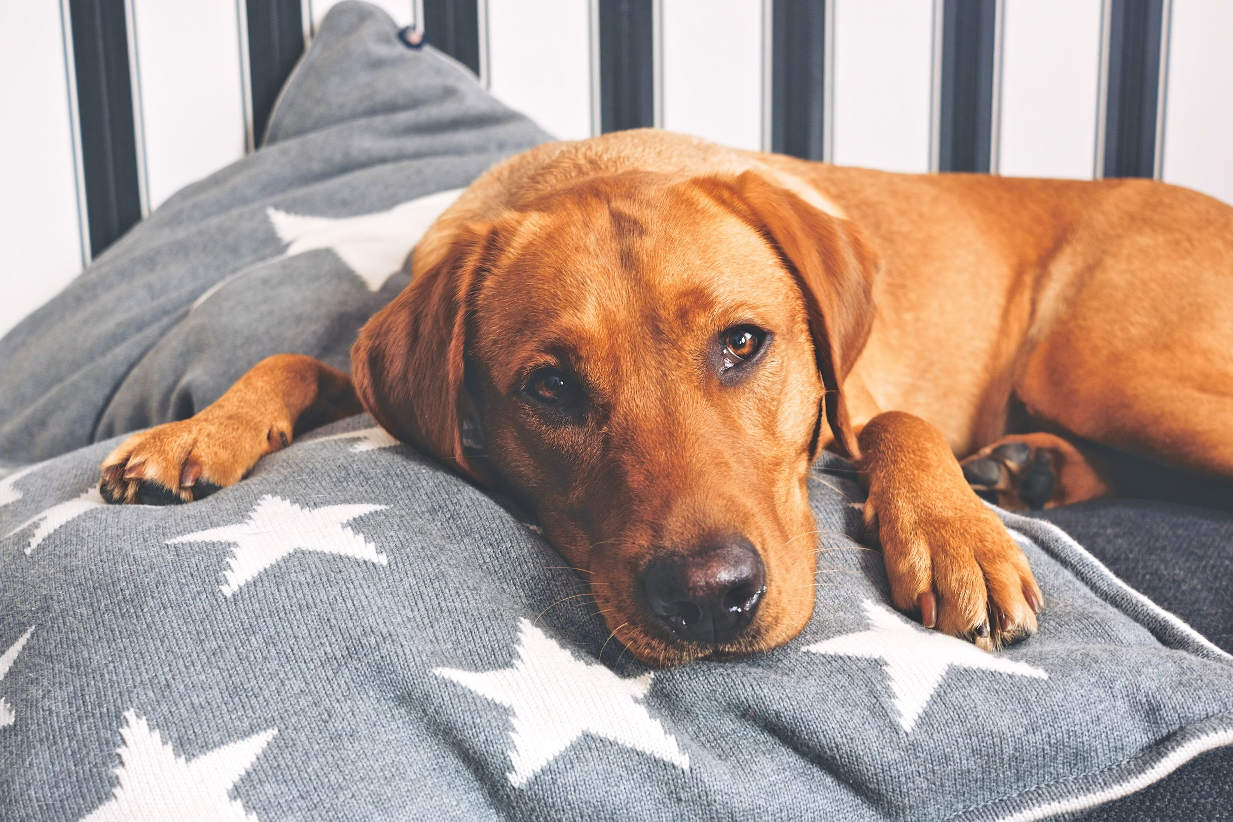 How Much Is A Labrador Retriever Puppy Cost