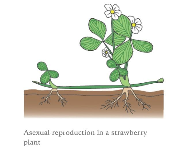 Asexual plants runners high