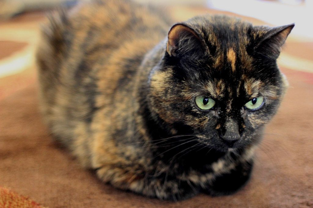 What is a tortoiseshell cat breed cbwp cats and others cats cat breeds cats kittens - Images of tortoiseshell cats ...