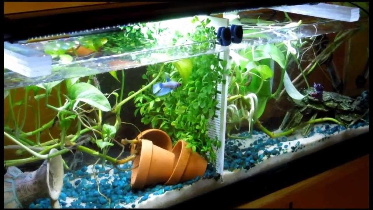 10 gallon tank divided in 1 2 good betta tank live plants fish