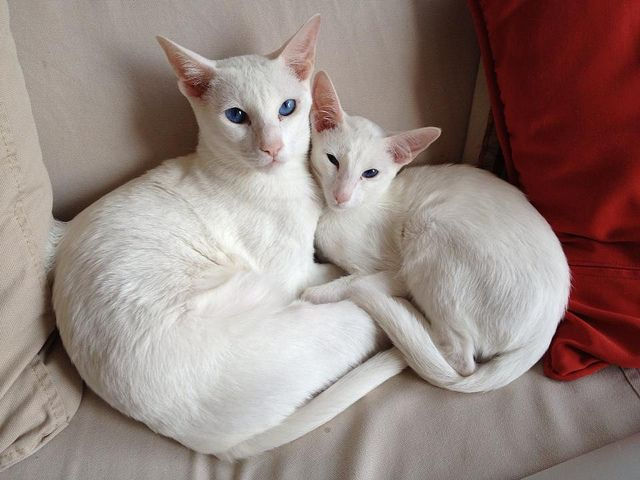 White Oriental Shorthair Cats Photo Cats Oriental Shorthair Cats Oriental Shorthair