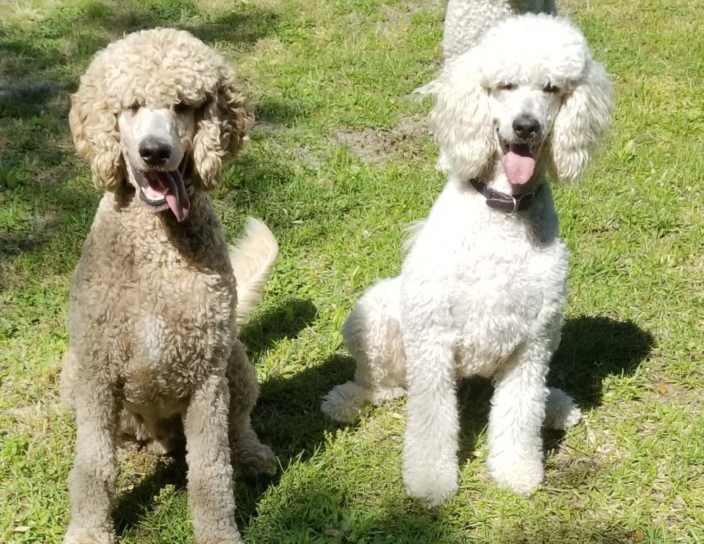 Zoey My Beautiful White Standard Poodle And 10 Month Old Son