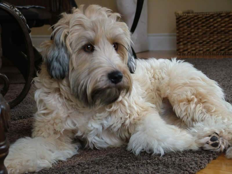 Wheaten Terrier Mix Breeds Copyright 2017 Benji Kennels All Rights Reserved