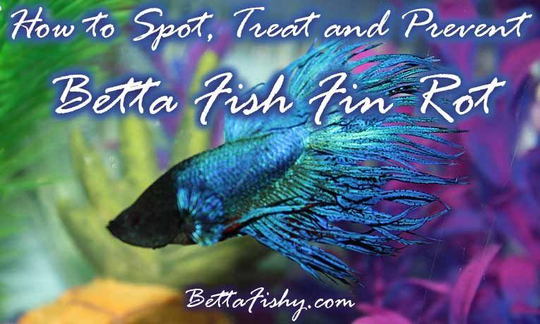 BettaFishFinRot